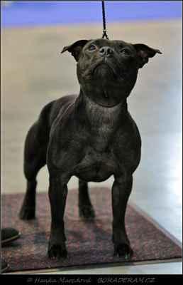 "Artemis Lacambi (Glimmer Man Domidar Dogs X Calimba de Luna Canea Bulls) - Feny - mezitřída - známka: ""výborná"""
