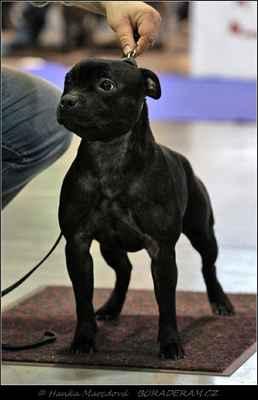 """I Want It All Domidar Dogs (Frisian Staff´s Final Countdown X Maya Stawka Wieksza Niz Zycie) - Feny - třída otevřená - známka: """"výborná 2, res. CAC, res. CACIB"""""""