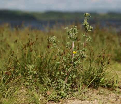 Blešník obecný (Pulicaria vulgaris) - C1t
