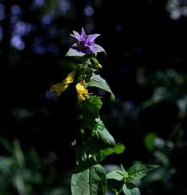 Černýš hajní časný (Melampyrum nemorosum var. praecox) - C1