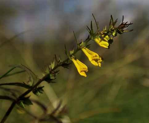 Černýš luční (Melampyrum pratense)
