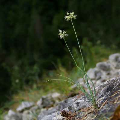 Česnek bledožlutý (Allium ochroleucum) - u nás neroste (SR)