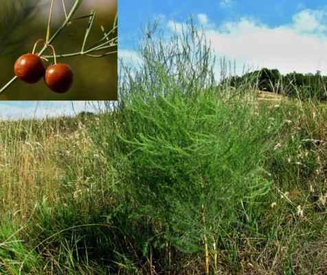 Chřest lékařský (Asparagus officinalis)