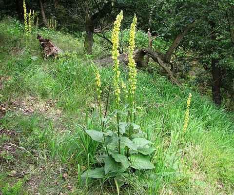 Divizna černá (Verbascum nigrum)