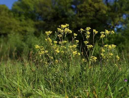 Dvojštítek hladkoplodý proměnlivý (Biscutella laevigata subsp. varia) - C3, §3