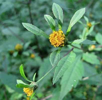 Dvouzubec černoplodý (Bidens frondosa)