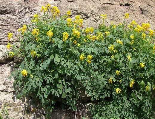Dymnivka žlutá (Corydalis lutea)