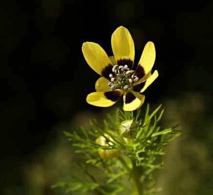 Hlaváček letní, žlutá varieta (Adonis aestivalis var. citrina) - C3