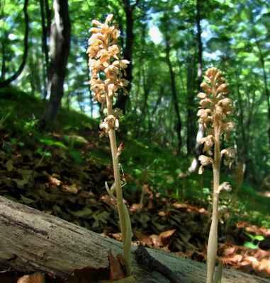 Hlístník hnízdák (Neottia nidus-avis) - C4a