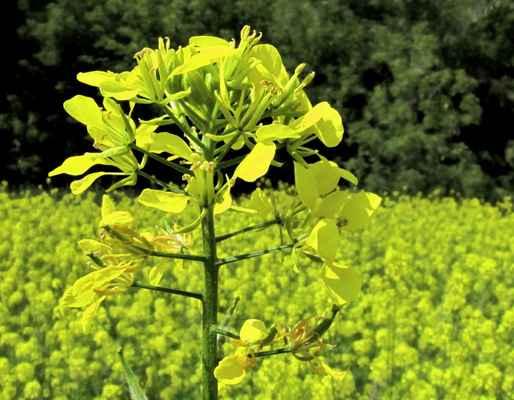 Hořčice rolní (Sinapis arvensis)