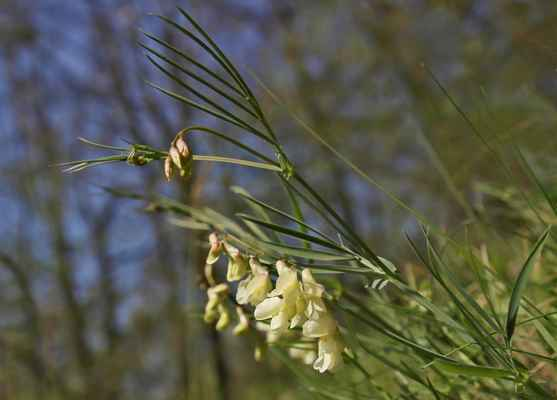 Hrachor panonský chlumní (Lathyrus pannonicus subsp. collinus) - C2b, §1