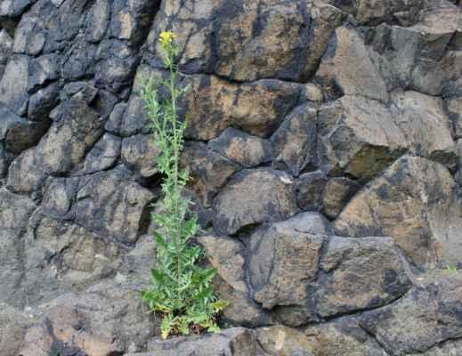 Hulevník Loeselův (Sisymbrium loeselii)