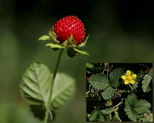 Jahodka indická (Duchesnea indica)