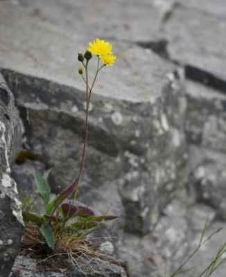 Jestřábník bledý (Hieracium schmidtii) - C4a