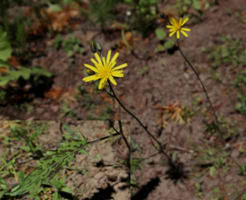 Jestřábník skvrnitý (Hieracium maculatum) - C4a