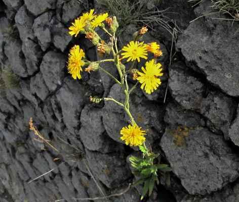 Jestřábník hladký (Hieracium laevigatum)