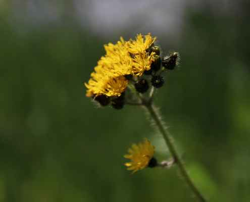 Jestřábník klubkatý (Hieracium glomeratum) - C4a
