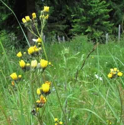 Jestřábník květnatý (Hieracium floribundum) - C4a