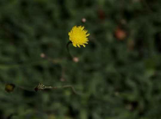Jestřábník myší ouško (Hieracium lactucella)