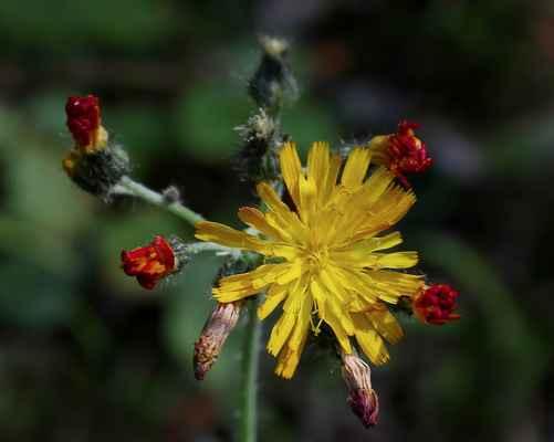 Jestřábník výběžkokvětý (Hieracium stoloniflorum) - C2r, hybridogenní taxon