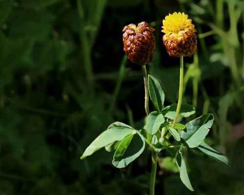 Jetel hnědý (Trifolium badium) - u nás sporný neofyt (SR)