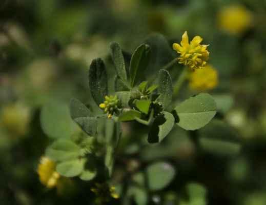 Jetel pochybný (Trifolium dubium)