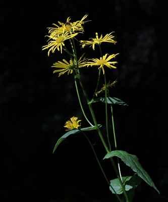Kamzičník rakouský (Doronicum austriacum) - C4a, §3