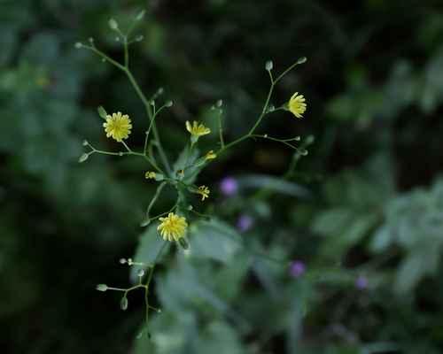 Kapustka obecná (Lapsana communis)