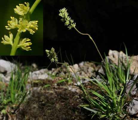 Kohátka kalíškatá (Tofielda calyculata) - C1t, §1