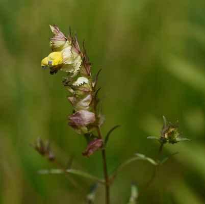 Kokrhel větší (Rhinanthus serotinus)