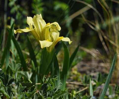 Kosatec písečný (Iris arenaria) - C2r, §1