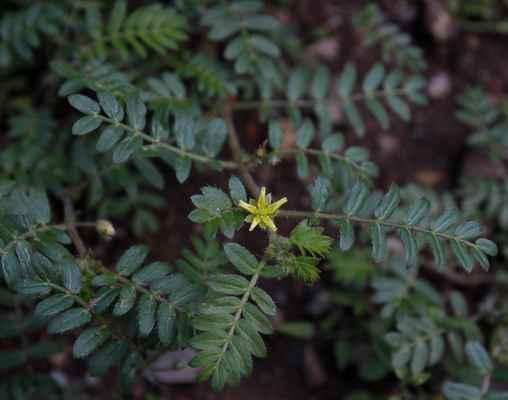 Kotvičník zemní (Tribulus terrestris)