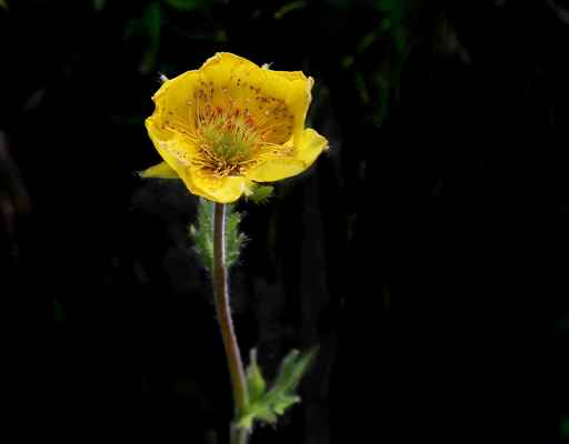 Kuklík horský (Geum montanum) - C2r