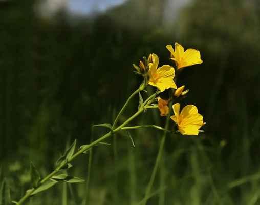 Len žlutý (Linum flavum) - C2b, §3