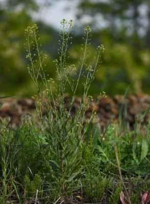Lnička drobnoplodá (Camelina microcarpa)