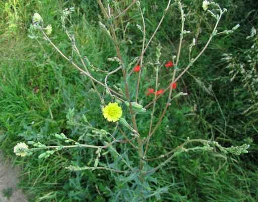 Locika kompasová (Lactuca serriola)