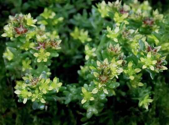 Lomikámen vždyzelený (Saxifraga aizoides) - u nás neroste (SR)