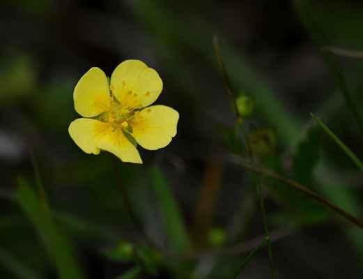 Mochna anglická, kříženec přímé a plazivé (Potentilla anglica, P. erecta x P. reptans) - C4a