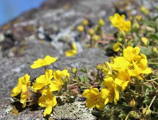 Mochna písečná (Potentilla arenaria) - C4a
