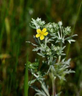 Mochna stříbrná (Potentilla argentea)