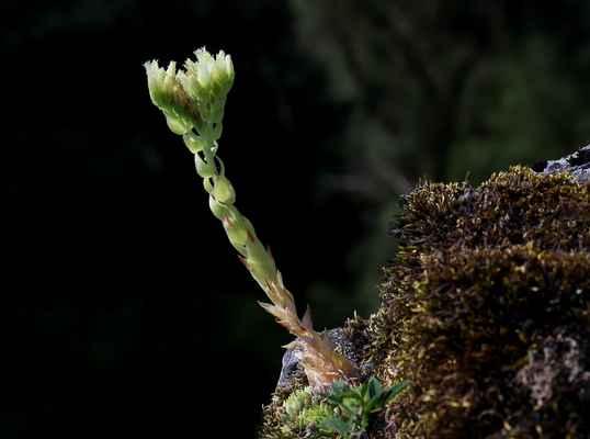 Netřesk výběžkatý srstnatý (Jovibarba globifera subsp. hirta) - C2r