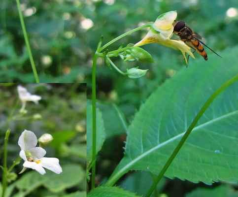 Netýkavka malokvětá (Impatiens parviflora)