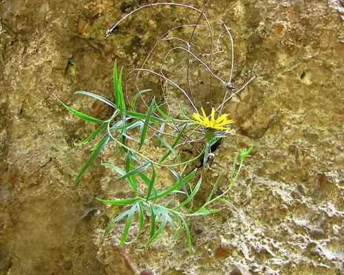 Oman mečolistý (Inula ensifolia) - C3