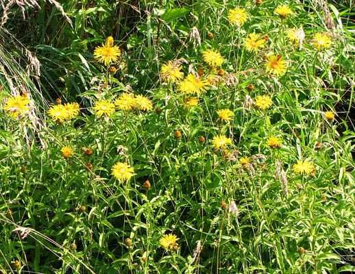 Oman vrbolistý (Inula salicina) - C4a