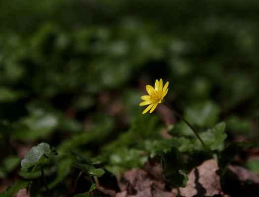 Orsej blatoucholistý (Ficaria calthifolia) - C3