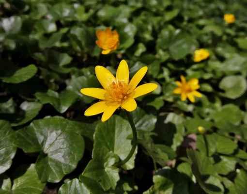 Orsej jarní (Ficaria verna)