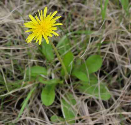 Pampeliška chudolaločnatá (Taraxacum paucilobum) - C1t, §3