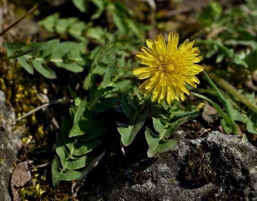 Pampeliška slezská (Taraxacum parnassicum)