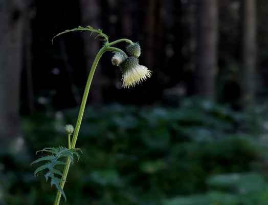 Pcháč lepkavý (Cirsium erisithales) - u nás neroste (SR)