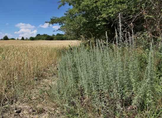 Pelyněk pontický (Artemisia pontica) - C3